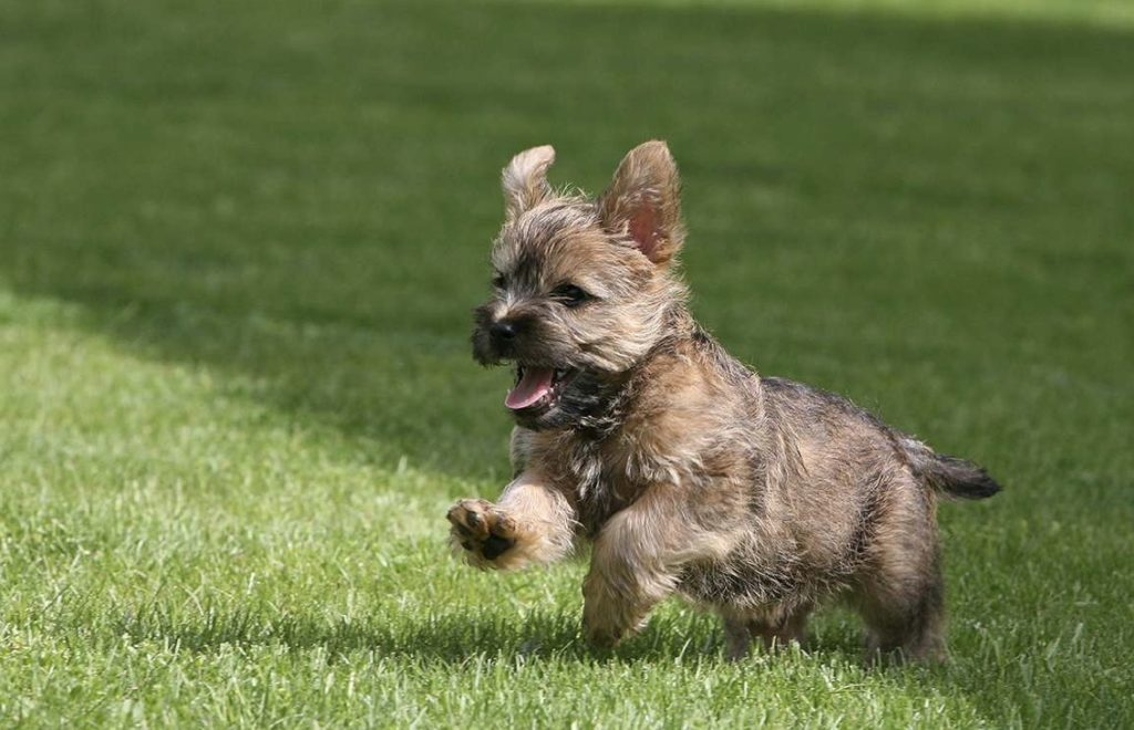 life with cairn terrier